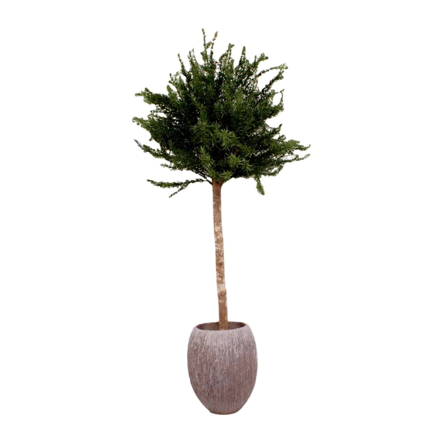 Buy our perfect artificial rosemary tree. With real bark trunk and natural looking rosemary spine. This tree is maintenance free