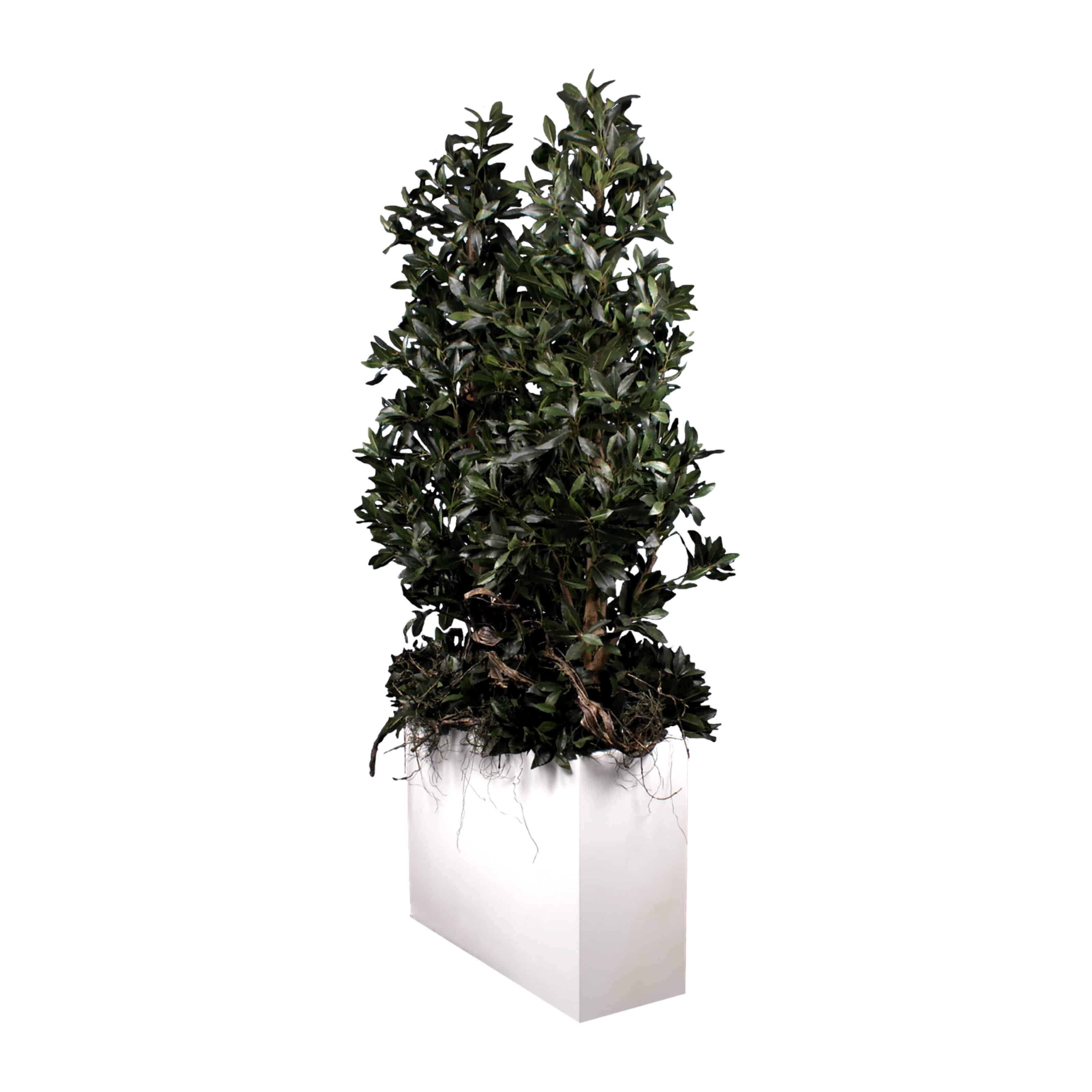 Buy our artificial sweet bay tree arrangement with real tree bark trunks and natural colouring. A modern design - popular