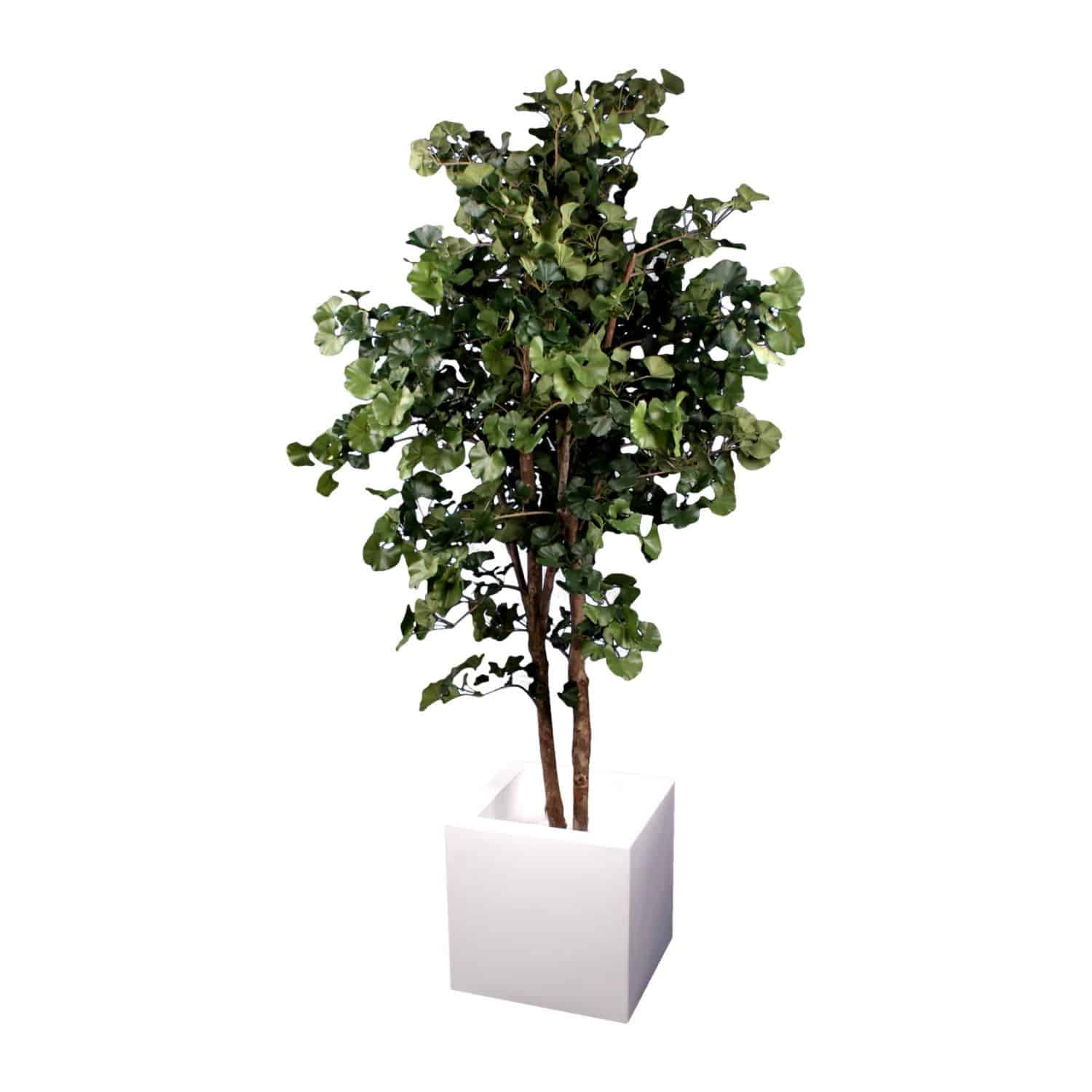 Shop for our artificial ginkgo tree with real tree bark trunk and natural colouring. In a versatile modern white pot. Soil free ideal for oriental gardens.